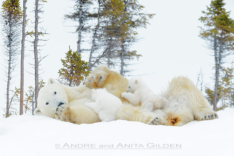 Polar bear mother feeding cubs